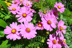 Pink cosmos Royalty Free Stock Photography