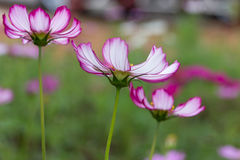 Pink cosmos flowers Stock Photography