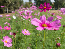 Pink Cosmos flowers in the garden. With blur background Royalty Free Stock Photos