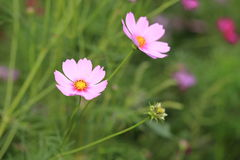 Pink cosmos flowers in garden Royalty Free Stock Photography
