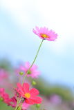 Pink cosmos flowers in garden Stock Image