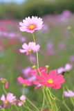 Pink cosmos flowers in garden Royalty Free Stock Image