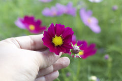 Pink cosmos flowers in hand Royalty Free Stock Photo