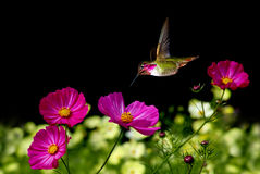 Pink Cosmos Flowers over black background Stock Photos
