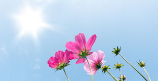 Pink Cosmos Flowers over Blue Sky Royalty Free Stock Photo