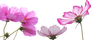 Pink Cosmos Flowers over White Background Stock Photography