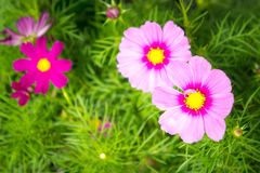 Pink cosmos flowers in the park , flora in the garden Stock Images