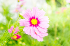 Pink cosmos flowers in the park with sunlight moring Stock Image