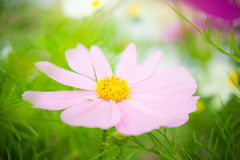 Pink cosmos flowers in the park with sunlight moring Royalty Free Stock Photography