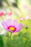 Pink cosmos flowers in the park with sunlight moring Royalty Free Stock Photos