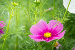 Pink cosmos flowers in the park with sunlight moring Stock Photography