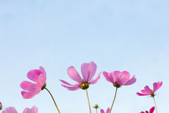 Pink cosmos flowers on sky background Stock Photography