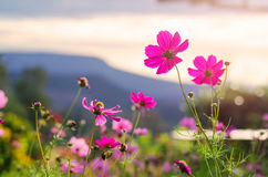 Pink cosmos flowers in sunrise Stock Images