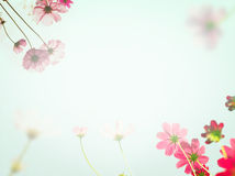 Pink cosmos flowers under sun light. Royalty Free Stock Photo