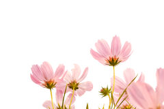 Pink cosmos flowers on white background Stock Images