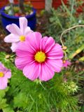 Pink Cosmos in full bloom. During an english summer stock image