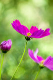 Pink cosmos in the garden Royalty Free Stock Image