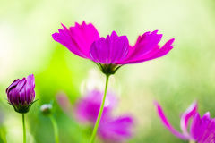 Pink cosmos in the garden Stock Image
