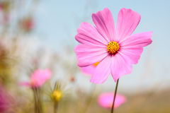 Pink cosmos in garden Royalty Free Stock Photo