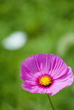Pink cosmos at the green field Royalty Free Stock Image