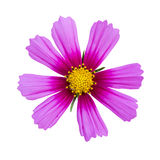 Pink cosmos isolated Stock Image