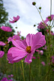 Pink Cosmos Macro stock photography