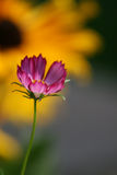 Pink Cosmos Picotee Background. This is a tiny pink cosmos picotee blossom with a blurred black eyed Susan in the background. This image would make a great Royalty Free Stock Photos