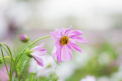 Pink cosmos with refreshing. royalty free stock photos