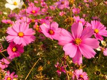 Pink cosmos. Selective focus of pink cosmos Stock Images