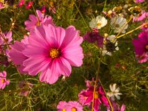 Pink cosmos. Selective focus of pink cosmos Royalty Free Stock Image