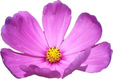 Pink cosmos a single flower. Graphics Royalty Free Stock Photography