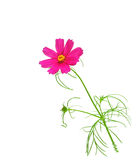 Pink Cosmos sonata. Single pink cosmos sonata flower isolated on white background Royalty Free Stock Photos