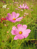 Pink cosmos in sunny day. A field of pink cosmos Stock Image