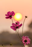 Pink cosmos with sunset Royalty Free Stock Photo