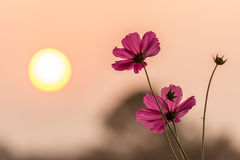 Pink cosmos with sunset Royalty Free Stock Images