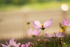 Pink Cosmos with White Picket Fence. Pink cosmos bloom in a summer garden with a white picket fence in the background Royalty Free Stock Photos