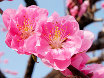 Pink couple. A couple of beautiful pink cherry flowers in a natural environment Stock Images