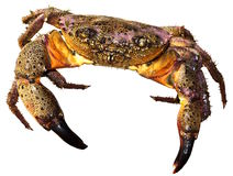 Pink crab Stock Image