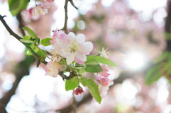 Pink crab apple blossom Stock Photo
