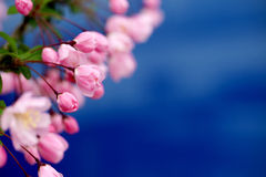 Pink Crab Apple Blossoms. On blue background Royalty Free Stock Images
