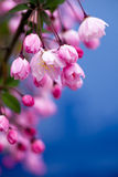 Pink Crab Apple Blossoms. On blue background Stock Photos