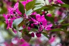 Pink crab-apple blossoms on tree branch Royalty Free Stock Image