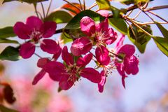 Pink crab-apple blossoms on tree branch Stock Photos