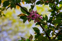 Pink crab-apple blossoms on tree branch Stock Images
