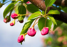 Pink Crab Apple Blossoms Royalty Free Stock Photography