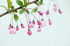 Pink Crab Apple Blossoms Stock Photos
