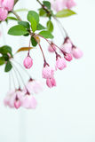 Pink Crab Apple Blossoms Royalty Free Stock Photo