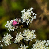Pink crab spider on white flower with dead fly lunch prey Stock Image