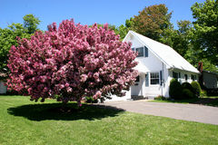 Pink Crabapple. Pink flowering crabapple tree beside a neat white house stock photography
