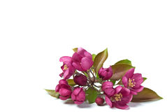 Pink Crabapple Blossoms Stock Image